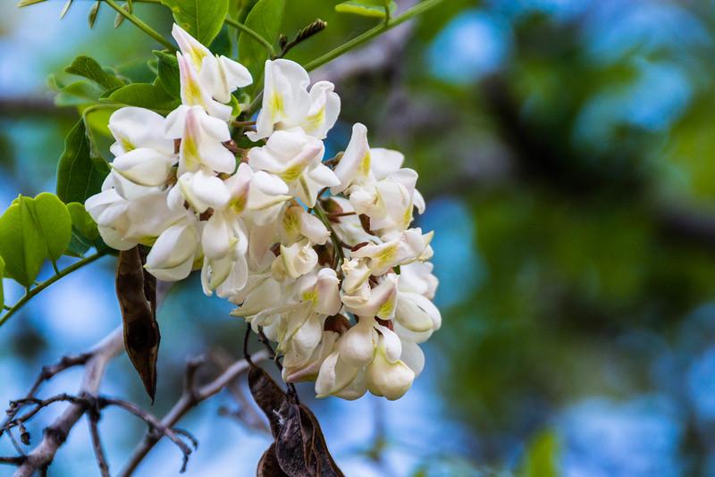 Common Black Locust flowers are very fragrant
