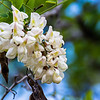 Common Black Locust flowers are very fragrant