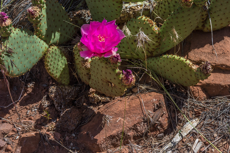 Side-blotched Lizard hiding among the Plains Pricklypear