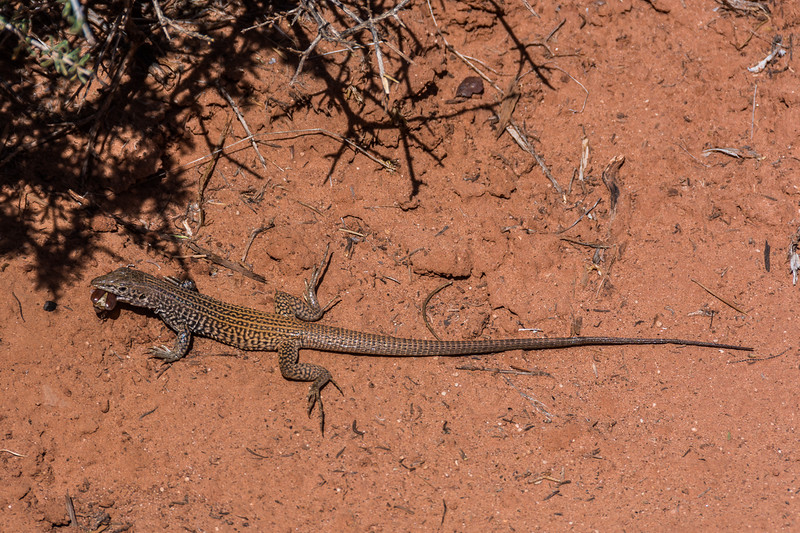 Great Basin Whiptail lizard with lunch