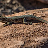 Side-blotched Lizard.  This is the first critter we saw at Zion.