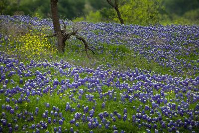 13 - Texas Bluebonnet