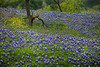 13 - Texas Bluebonnet