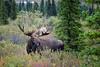 29 - Moose!