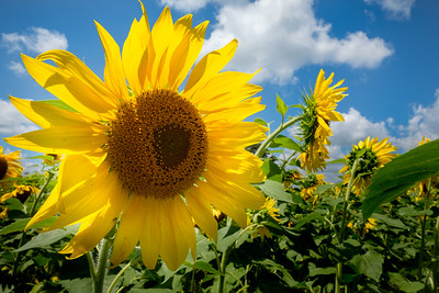 #38 Sunflower
