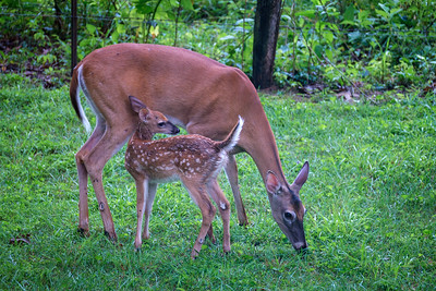 28 Mother and Fawn