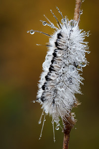Jeweled Caterpillar
