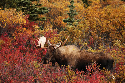 Moose, Denali National Park, Alaska