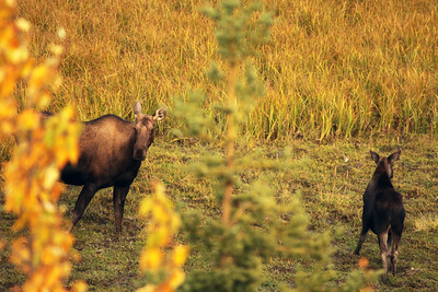 Moose Mom & Calf, Denali National Park, Alaska