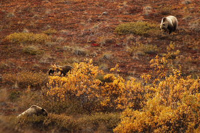 Grizzly Bears, Denali National Park, Alaska
