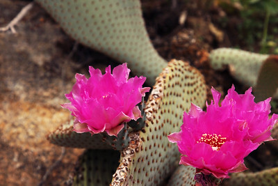 Beavertail Cactus Bloom