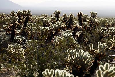Cholla Cacti Garden