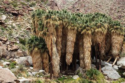 Borrego Palm Oasis