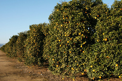 Orange Trees Lemon Cove, CA