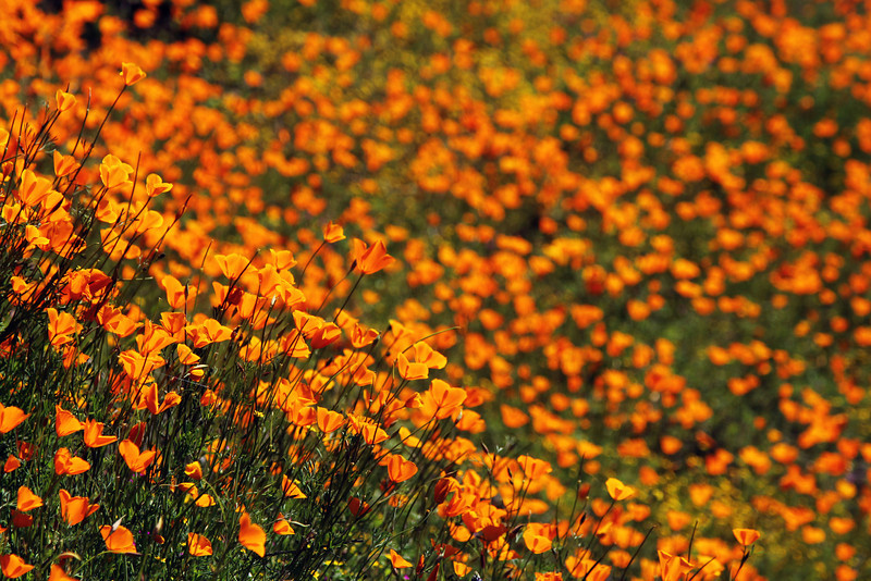 California Poppies<br /> El Portal, CA