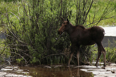 Moose Rocky Mountain National Park, Colorado