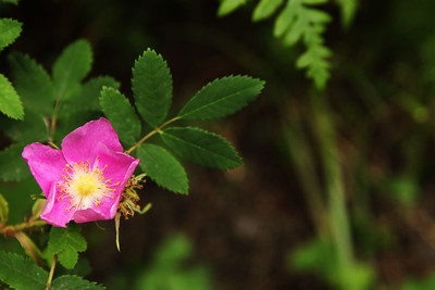 Wild Rose. Rocky Mountain National Park, Colorado