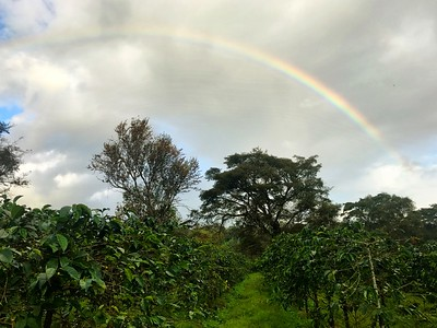 Coffee Plantation Rainbow