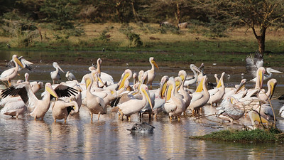 Great White and Pink-backed Pelicans