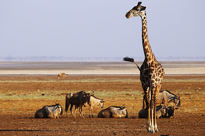 Giraffe and Wildebeests