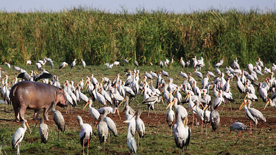 Hippo and Yellow-billed Storks