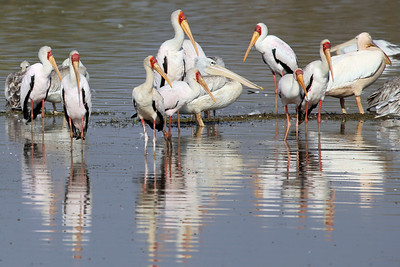 Yellow-billed Storks and Pelicans