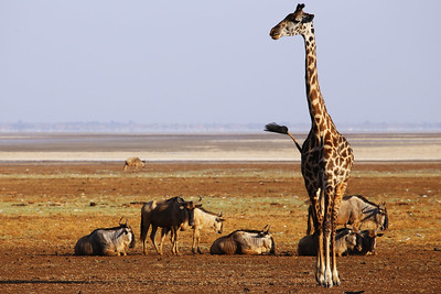 Giraffe Posing with Wildebeests
