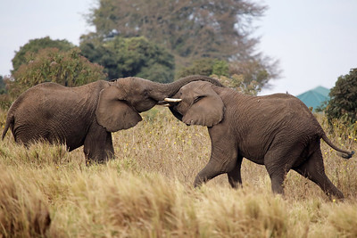 Young Elephant Play