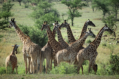 Giraffe Protection