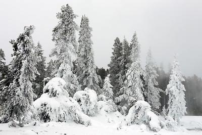 Mist-Frozen Trees