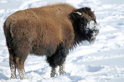 Juvenile Bison
