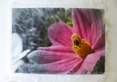 3+bees+pink+cosmos+_MG_8633-3543276730-O