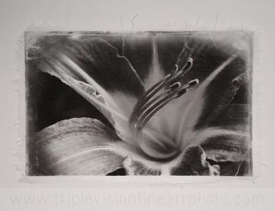 lily+bw+on+white_MG_8994-3543522563-O