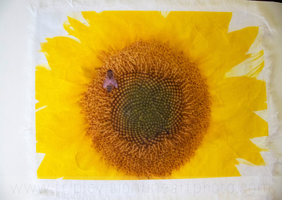 3+bees+sunflower+_MG_8636-3543281787-O