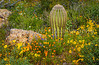 Spring wildflowers, saguaro cactus, in Organ Pipe Cactus National <br /> Monument, Arizona, USA.