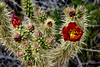 Desert cholla cactus blooming in the Anza-Borrego State Park ,California, USA.