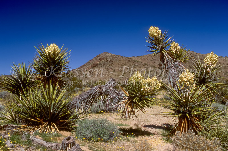Blooming yucca plants in Joshua Tree National Park, California, USA.