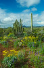 Organ Pipe and saguaro cactus with spring wildflowers in Organ Pipe Cactus National Monument, Arizona, USA