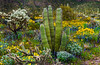 Spring wildflowers, saguaro cactus, organ pipe cactus, cholla cactus and views of Ajo mountain in Organ Pipe Cactus National <br /> Monument, Arizona.