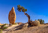 A lone cedar tree in the Rock piles of Joshua Tree National Park, California, USA,