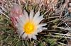 Closeup of the blossom of the Thelocactus rinconensis cactus, in the Desert Botanical Gardens in Phoenix, Arizona, USA.