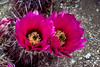 Closeup of Hedgehog cactus blossoms in the deserts of Arizona, USA.