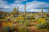 Spring wildflowers, saguaro cactus, organ pipe cactus, cholla cactus and views of Ajo mountain in Organ Pipe Cactus National Monument, Arizona, USA.
