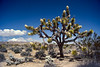 A blooming joshua tree in Joshua Tree National Park, California, USA.