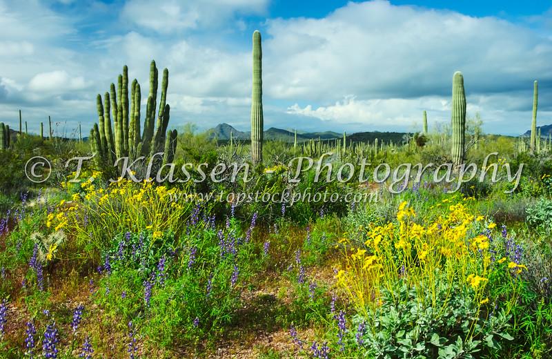Organ Pipe cactus and spring wildflowers in Organ Pipe Cactus National Monument, Arizona, USA