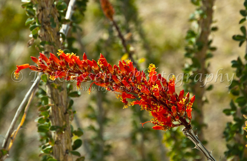 Closeup of the Ocotillo blossom near Brawley, California, USA.
