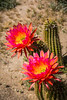 Orange cactus flowers blooming in the desert near Borrego Springs, California, USA.