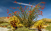 A large Ocotillo plant in full bloom after a  spring rain in Joshua Tree National Park, California, USA.