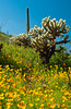 Desert scenic of Mexican gold poppy flowers, with saguaro and cholla cactus in Picacho State Park, Arizona, USA.