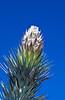 Joshua tree blossom in the Desert Botanical Gardens in Phoenix, Arizona, USA.